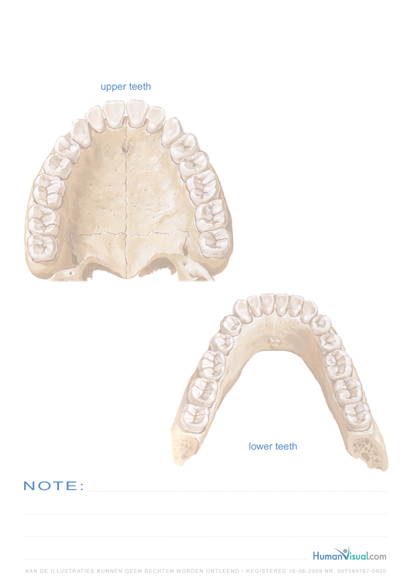 Human Visual, images and anatomy of the human lower and upper jaw